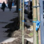 Де та як можна висаджувати дерева у Чернівцях