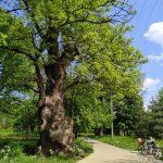 На Буковині росте найбільший та один із найстаріших ясенів України