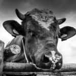 У Чернівцях покажуть документальний фільм «Велика рогата змова»