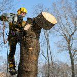 Де у Чернівцях дозволили зносити дерева та чому. Адреси